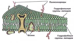 membrana_kletki1