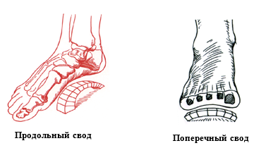 Продольный и поперечный своды стопы