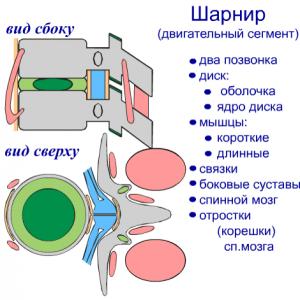 Позвоночный двигательный сегмент- двигательная единица позвоночного столба