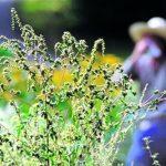 allergia-pyltsa