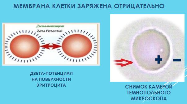 Мембрана клетки и межклеточная жидкость имеют отрицательный заряд ( ОВП-потенциал)