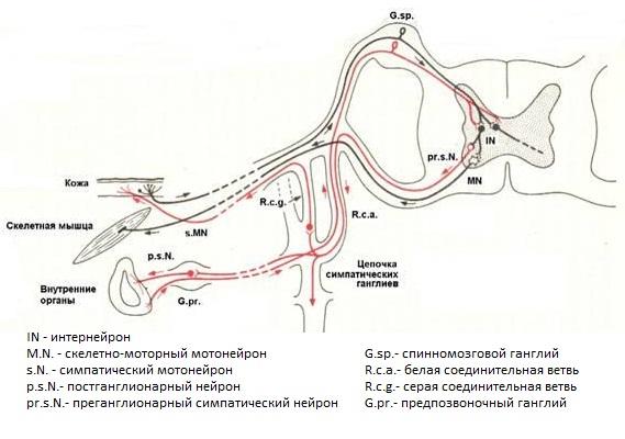 Висцеро-вертебральный рефлекс
