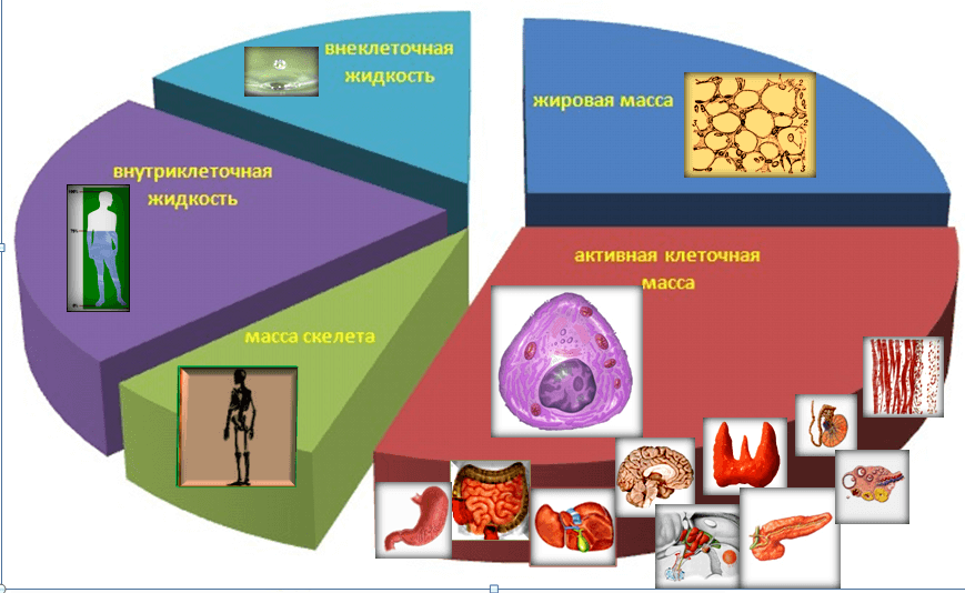 Состав тела человека